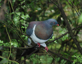 New Zealand Kereru (wood pigeon)